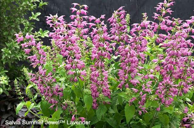 Salvia Summer Jewel Lavender is perfect for attracting butterflies to your garden