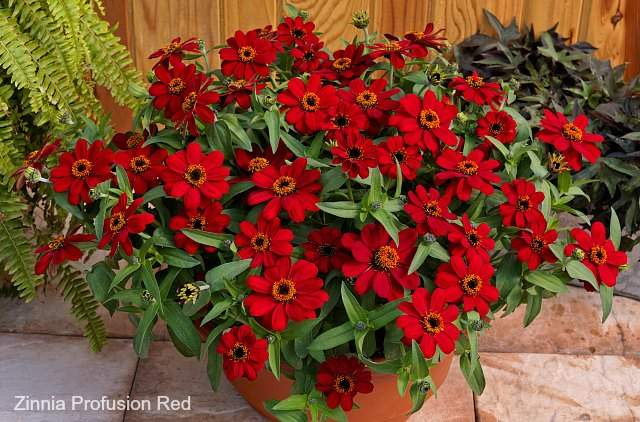 Zinnia Profusion Red has flowers that attract butterflies