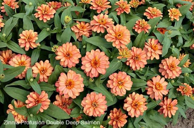 zinnia profusion salmon is one of the best flowers for butterflies