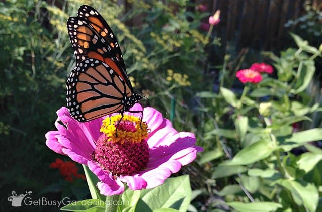 Zinnias Are Plants That Attract Monarch Butterflies