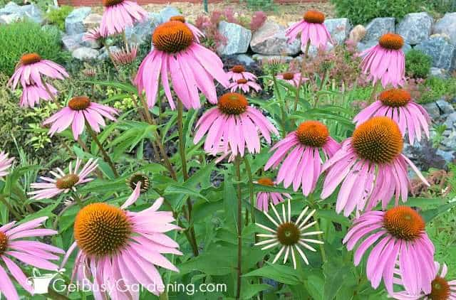 Bees love purple coneflowers