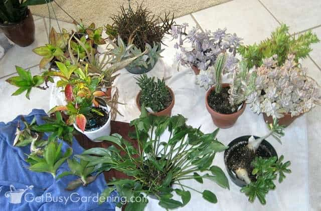 Bringing plants indoors without bugs