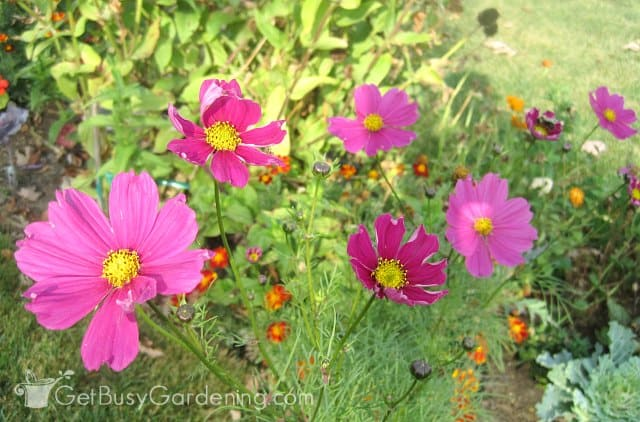 Cosmos are great bee plants