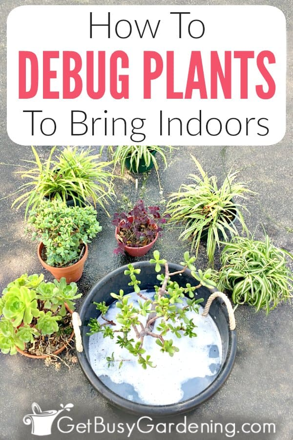 It's great for houseplants to spend the summer outside. But how do you bring them back indoors in the fall without spiders, destructive pests, and other bugs!? It's simple with this method of soaking them in soapy water! It works for any type of plant too. Get the step-by-step instructions for exactly when and how to debug your plants to bring indoors for the winter. Plus learn the benefits, how to clean large plants, and get tons of tips to make the process super easy.