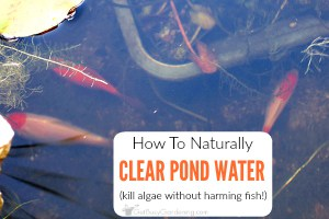 How To Keep Pond Water Clear Naturally (And Get Rid Of Pond Algae)