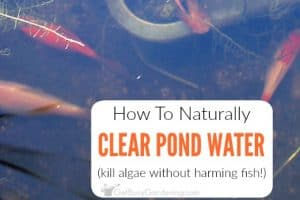 How To Get Rid Of Algae In Pond Naturally
