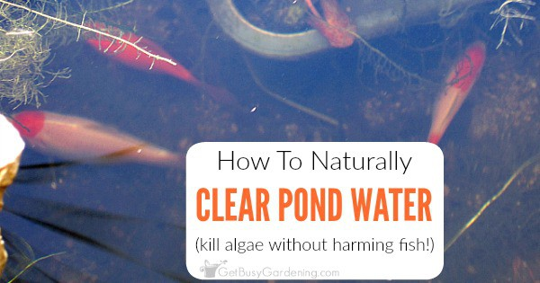 How To Keep Pond Water Clear Naturally And Get Rid Of Pond Algae