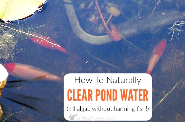 How to keep pond water clear naturally