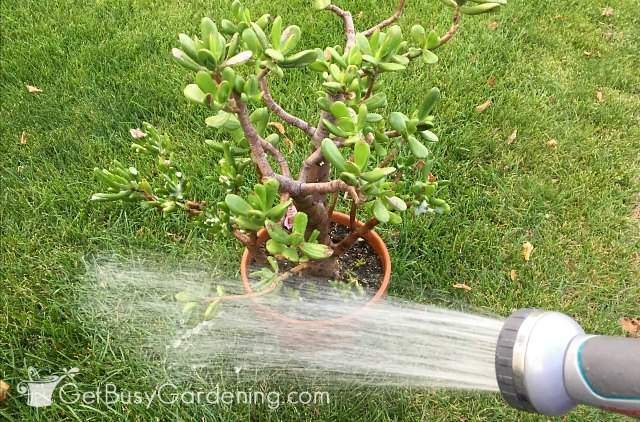 Rinse off soap before bringing plants inside