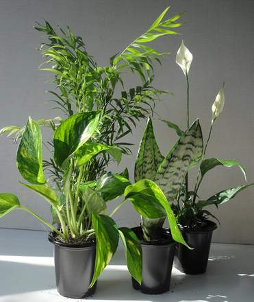 Indoor air cleaning houseplants collection