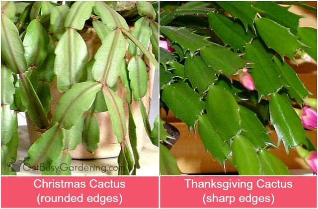 Difference between Christmas cactus and Thanksgiving cactus