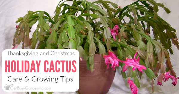 Caring For Christmas Cactus.Holiday Cactus Care How To Grow Thanksgiving And Christmas