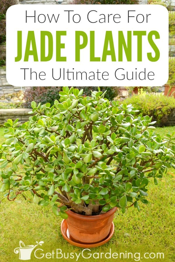 How To Care For Jade Plants (Crassula Ovata): The Ultimate Guide