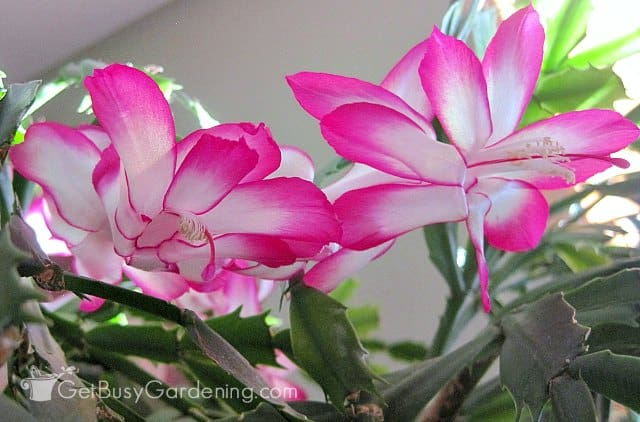 Pink and white Thanksgiving cactus flowers