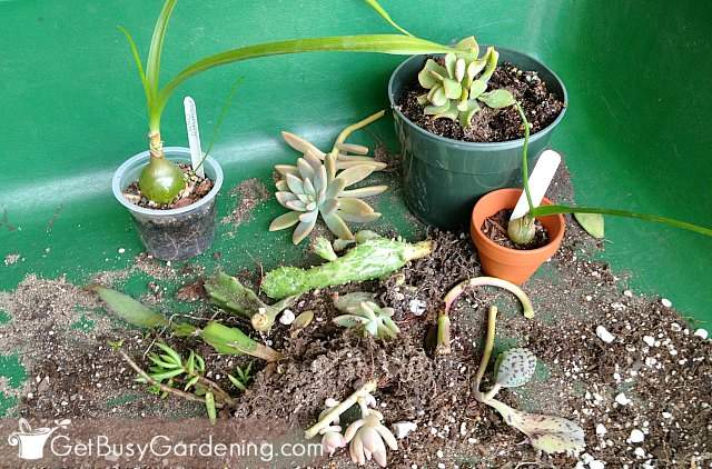 Small Succulent Plants And Cuttings For My Diy Succulent Dish Garden