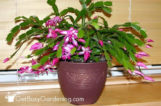 Thanksgiving cactus Holiday plant