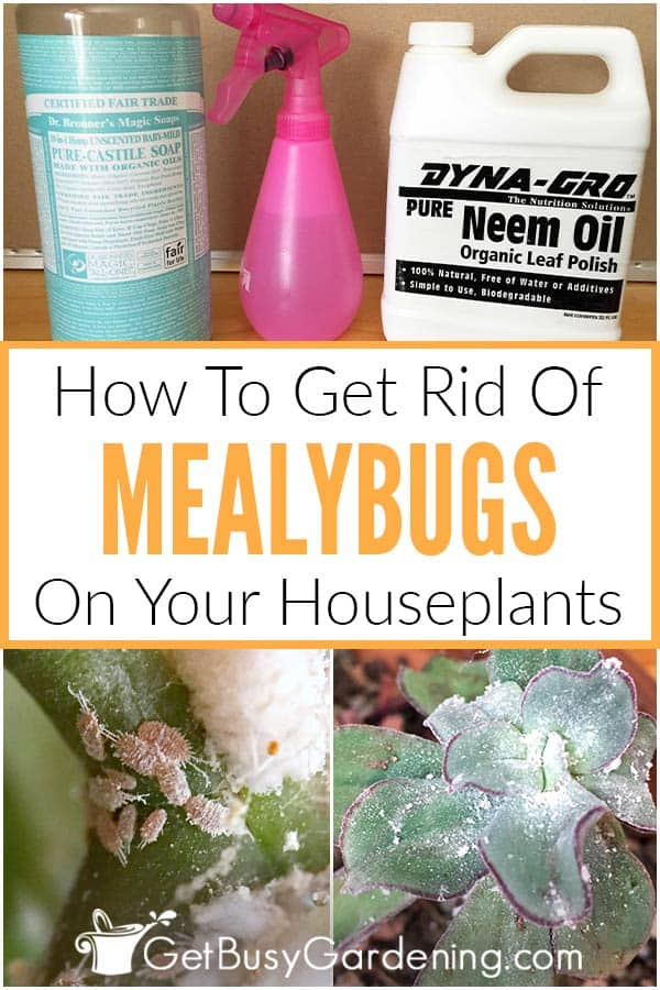 How To Get Rid Of Mealybugs On Your Houseplants