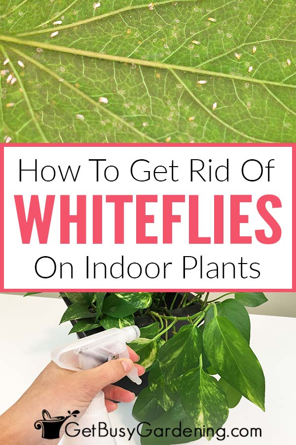 How To Get Rid Of Whiteflies On Indoor Plants