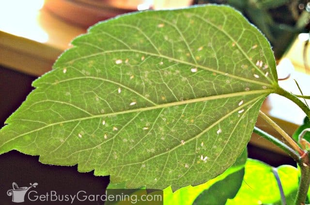 Whiteflies on hibiscus leaf