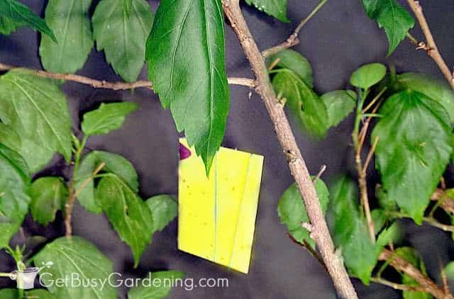 Yellow sticky traps for whiteflies