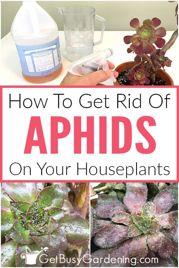 How To Get Rid Of Aphids On Your Houseplants
