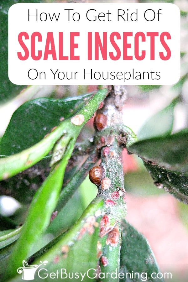 How To Get Rid Of Scale Insects On Your Houseplants