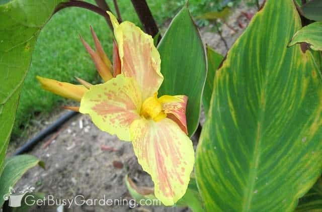 Canna lilies are tender perennial flowers