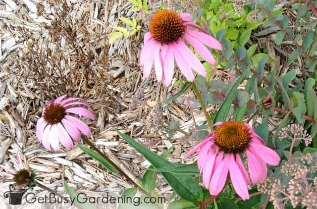 Coneflowers are examples of perennial plants