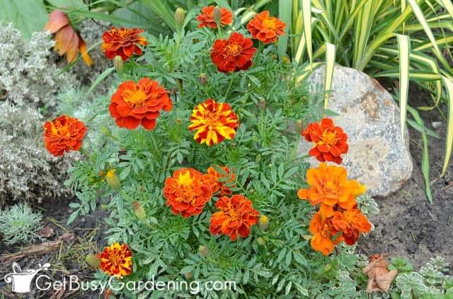 Marigolds are annual plant examples