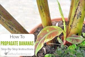 How To Propagate Banana Plants