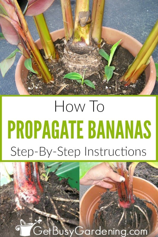 How To Propagate Bananas: Step-By-Step Instructions