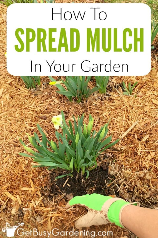 Mulching is good for your garden, but improper mulching is one of the biggest mistakes that new gardeners make. Read this article to learn steps for spreading mulch in your garden step-by-step, and get tons of garden mulching tips to help you feel confident that you're doing it right.