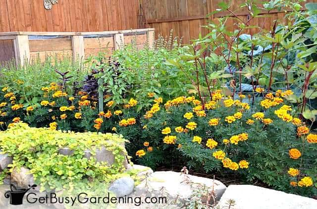 Marigolds are wonderful companions in the vegetable garden
