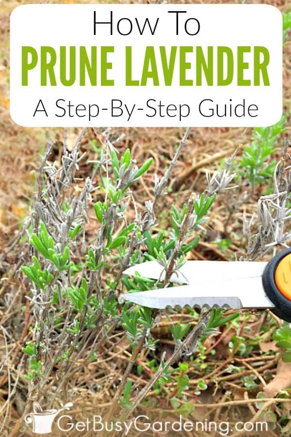 Pruning Lavender A Step By Step Guide Get Busy Gardening
