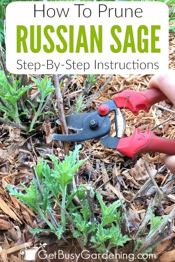 Pruning Russian sage is super easy, and you don't have to worry about over over pruning. Learn the three spring pruning techniques you use to prune any variety of Russian sage, and follow these step-by-step instructions to learn exactly how to prune Russian sage plants.