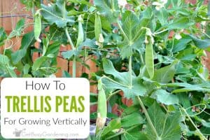 How To Trellis Peas In Your Garden