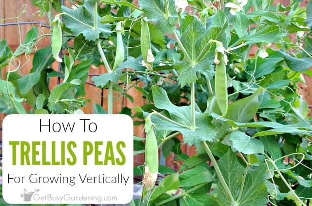How To Trellis Peas In Your Garden Get Busy Gardening