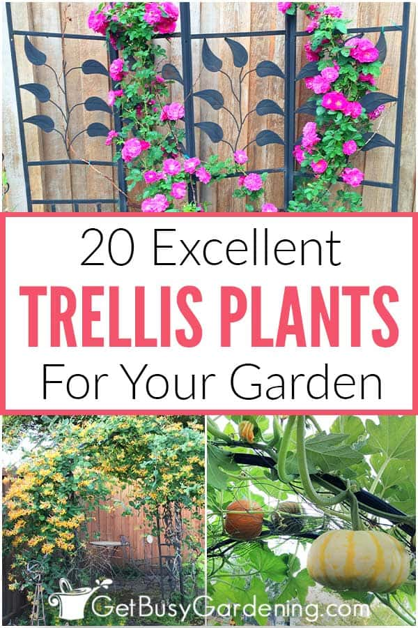 20 Excellent Trellis Plants For Your Garden