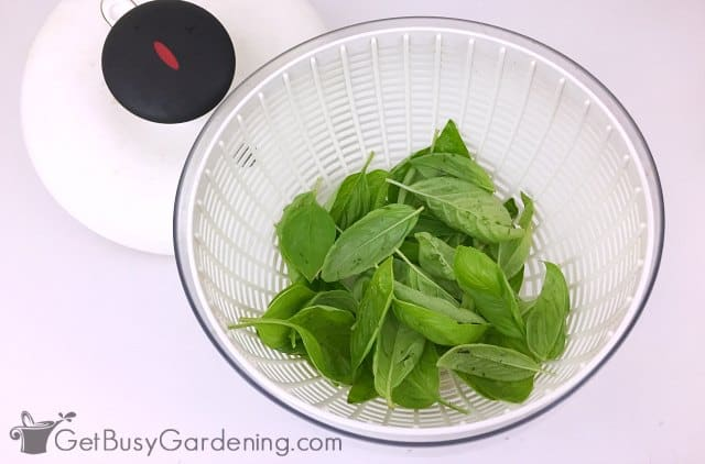 Cleaning basil leaves before making basil pesto