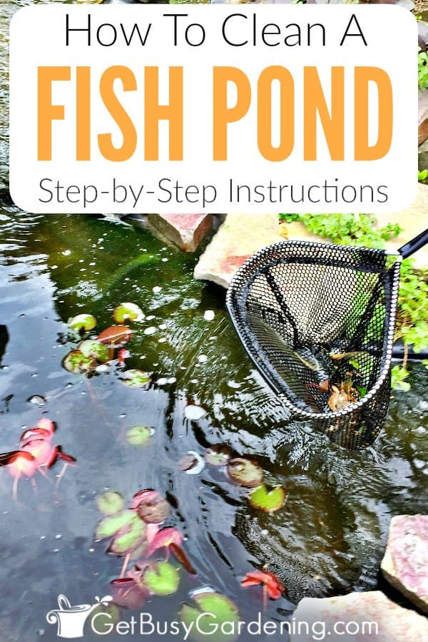 Cleaning fish pond water doesn't have to be a major struggle. Follow these detailed natural fish pond cleaning instructions, and learn how to take care of a pond so your pond water will stay clean!