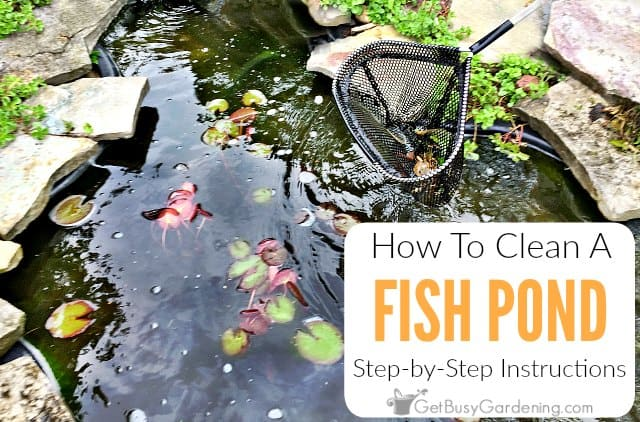 Easy diy fish pond cleaning instructions get busy gardening for Pond cleaning fish