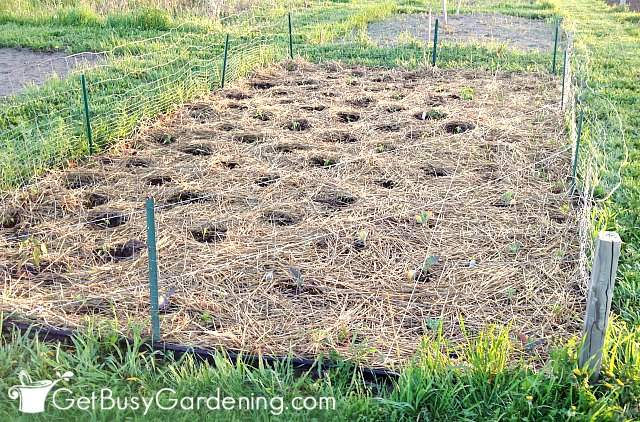 My vegetable garden covered with straw mulch