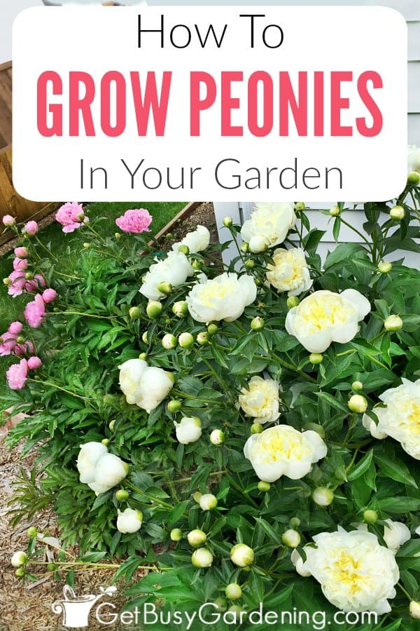 Peonies are classic garden flowers that don't require much care. In this detailed peonies care guide, you will learn exactly how to grow peony flowers in your garden. Get information on peonies including soil for peonies, watering, fertilizing, where to plant peonies, pruning, propagation, peony problems, and more.