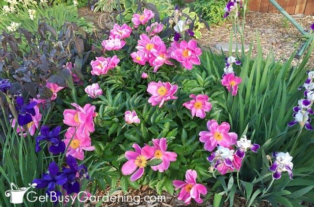 Pink peonies with single petal flowers