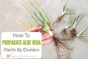 How To Propagate Aloe Vera By Division