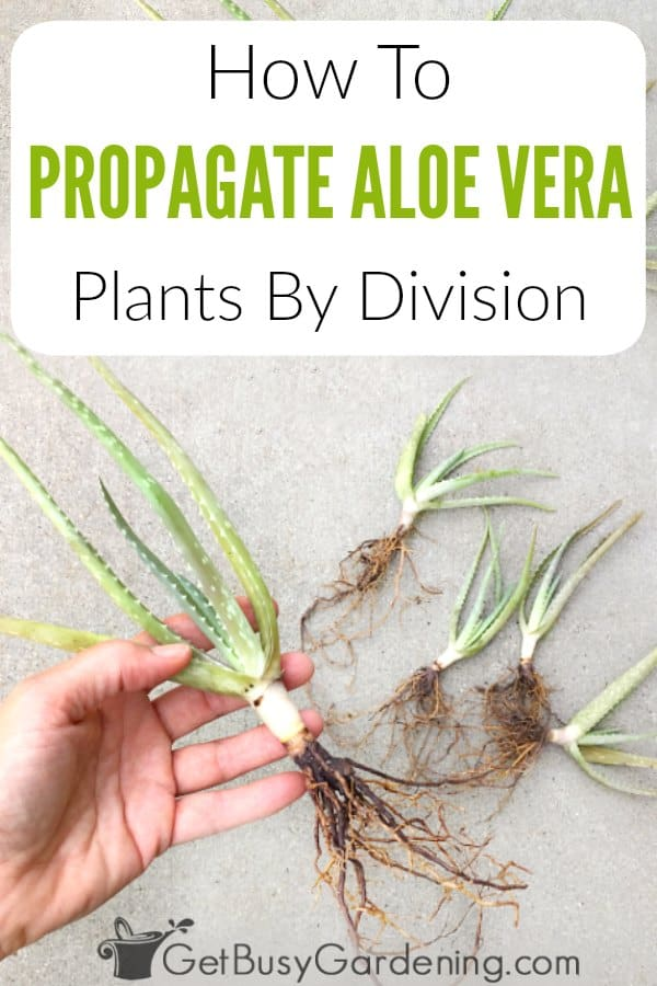 It's fun and easy to propagate aloe vera plants by division, and soon you'll have tons of new babies to share with friends. In this post, I will talk about the different methods for propagating aloe vera, give you tips for how to encourage aloe pups, and show you exactly how to separate aloe plants step-by-step.