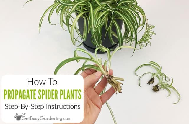 How To Propagate Spider Plants Step-By-Step