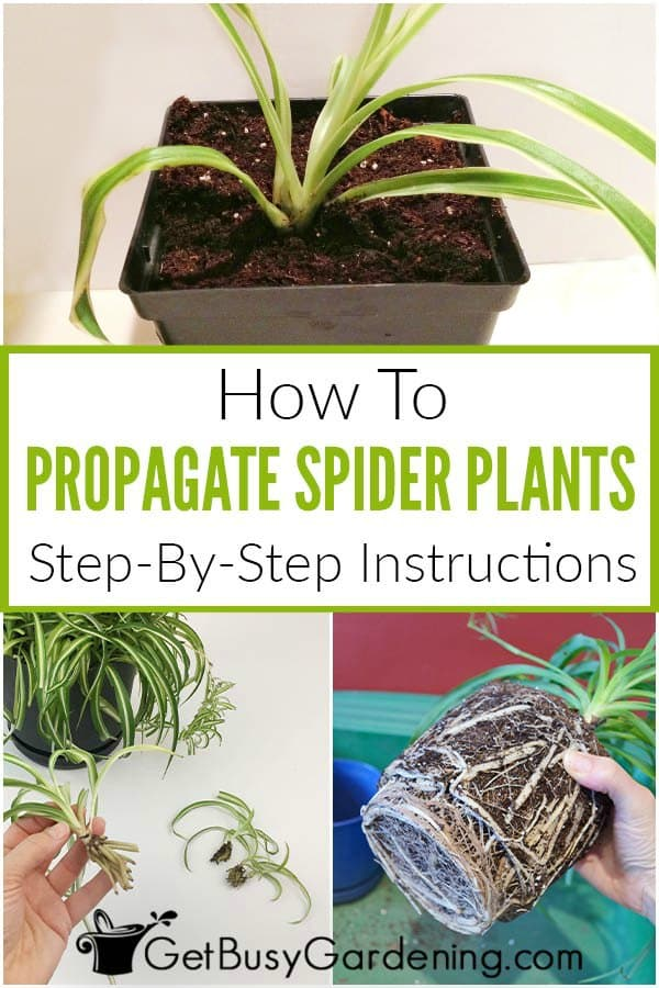 How To Propagate Spider Plants Step-By-Step Instructions
