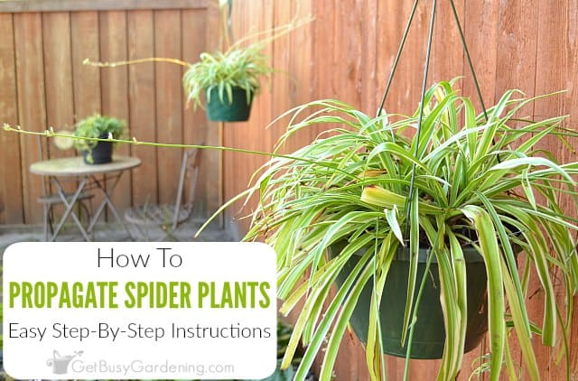 How To Propagate Spider Plants Step-By-Step - Get Busy Gardening
