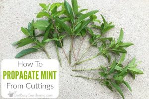 Propagating Mint Plants From Cuttings Step-By-Step